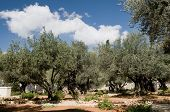 stock photo of gethsemane  - Biblical Garden of Gethsemane in Jerusalem with olive trees ancient enough to see Jesus Chist in person - JPG