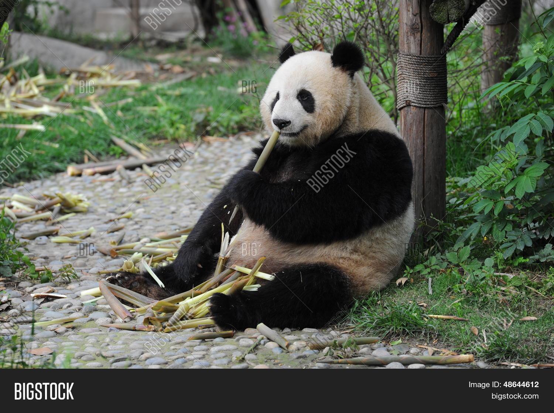 Adultos Panda Gigante Oso Comiendo Tallos De Bambú Fotos