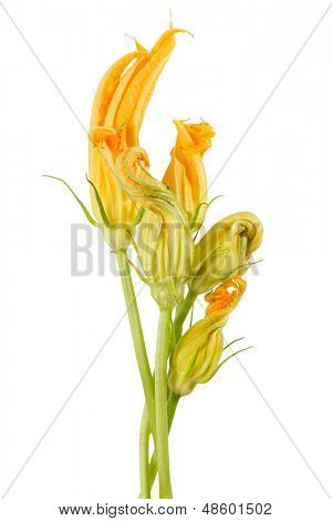 Yellow Zucchini Blossoms