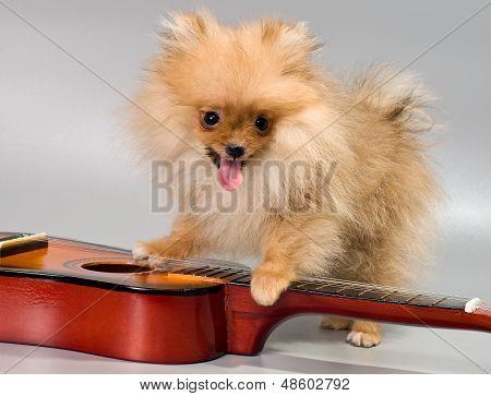 Pomeranian With A Guitar