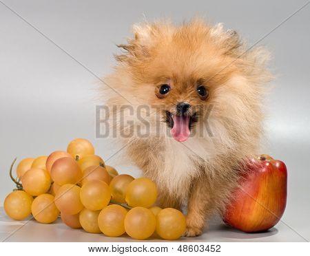 Pomeranian With Fruit