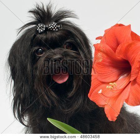 Bolonka Zwetna And Hippeastrum Flower