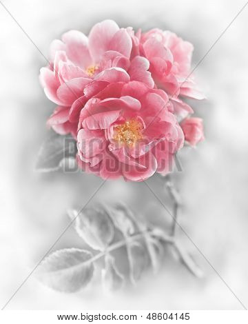 Abstract Romantic Pink Roses Flowers