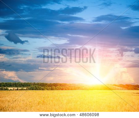 wheat field on a background of the beautiful sky