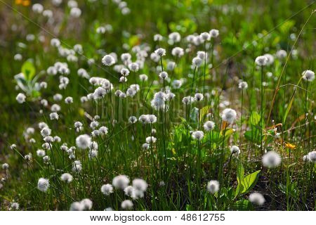 white flowers of cotton grass