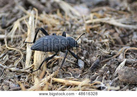 Crawling Black Beetle