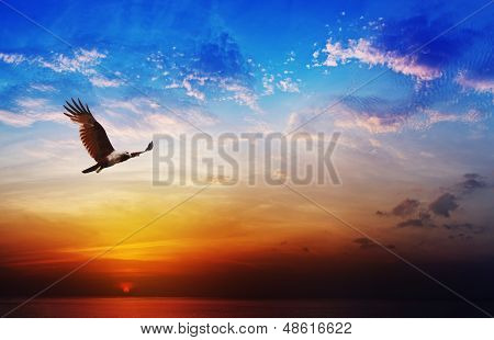 Bird Of Prey - Brahminy Kite Flying On Beautiful Sunset Background