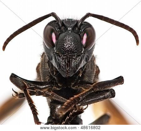 Paper Wasp Portrait Isolated On White Background