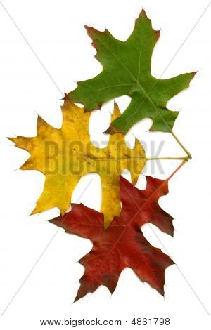 Three Autumn Leaves (green, Yellow And Red) Isolated On White Background