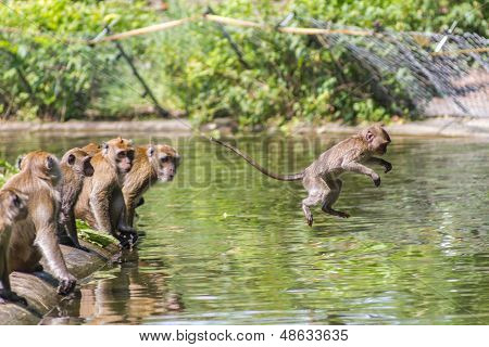 Jumping Monkey Directly Above The Water