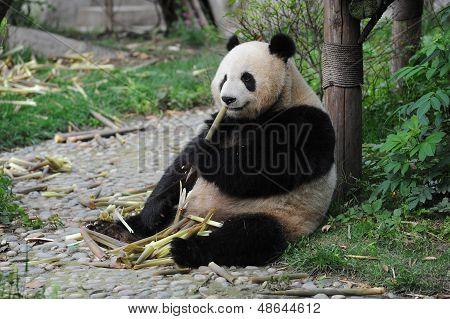 Adult giant panda bear eating bamboo shoots