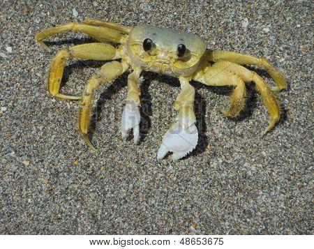 Bahamas Sand Crab