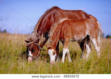 Mare With A Foal On A Meadow.