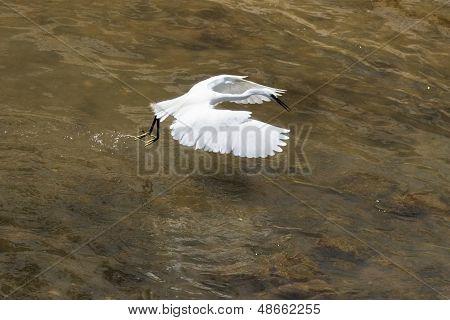 Snowy Egret Hunting In Flight