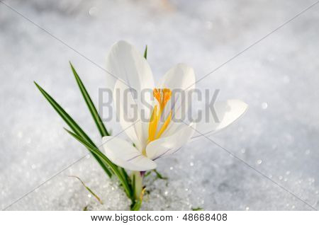 Saffron Crocus White Spring Bloom Closeup In Snow