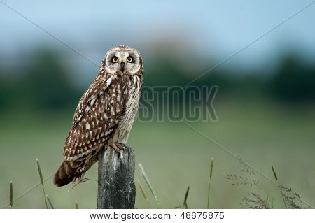 The Short-eared Owl (Asio Flammeus)