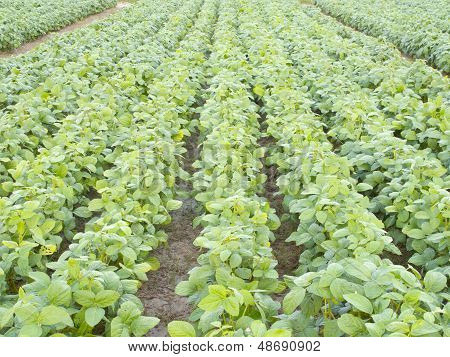 Seedling Soybean Field In Farmland