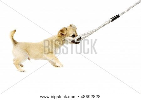 Chihuahua Puppy Pulling A Lead