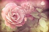 Abstract Romantic Pink Roses Flowers With Water Drops. Floral Background