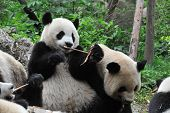 pic of pandas  - Giant panda bear eating bamboo with other pandas - JPG