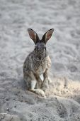 stock photo of rabbit hutch  - Wild rabbit with long ears and lively eyes - JPG