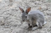 stock photo of rabbit hutch  - grey rabbit ready to pounce forward with a snappy sprint - JPG