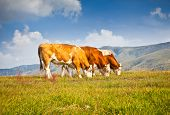 picture of serbia  - Cows on pasture in ecological environment - JPG