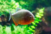 pic of piranha  - Red Piranha aka Serrasalmus nattereri - JPG