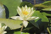 Blooming Water Lily