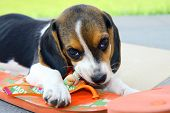 stock photo of puppy beagle  - Cute Beagle puppy that bites a slipper - JPG
