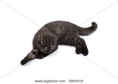 British Small Kitty Isolated On White Background With Shadow.