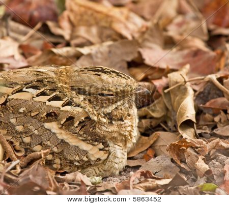 Long-tailed Nightjar Close-up