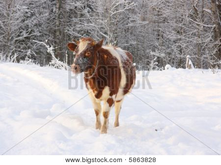 Cow in the winter