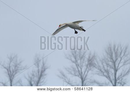 Whooper Swan (cygnus Cygnus) In Flight