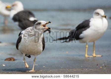 Lesser Black-backed Gull Screeching