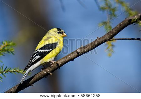 Male Goldfinch Perched In A Tree