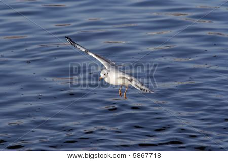 Flying Gull