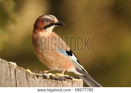Eurasian Jay On A Spruce Stump