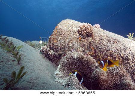 Haddon's Anemone And Anemonefish