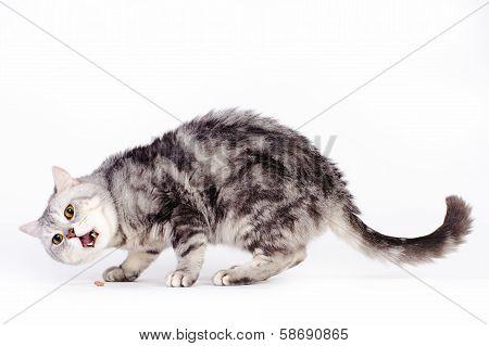 Marble British Cat