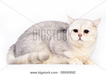 Grey Scottish Cat