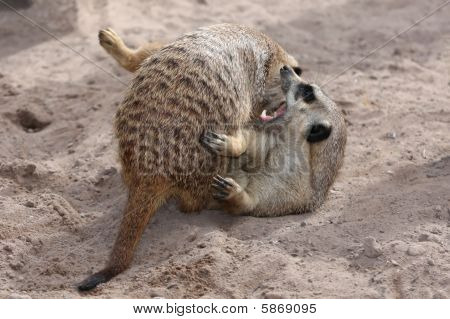 Meerkats Fighting