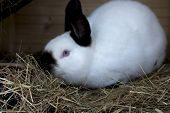 image of rabbit hutch  - rabbit eats sappy hay in his spacious rabbit  - JPG