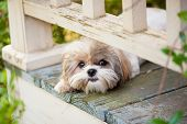 stock photo of furry animal  - cute puppy dog peeking under railing on porch - JPG
