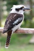 image of blue winged kookaburra  - Laughing Kookaburra bird sitting on a tree branch - JPG