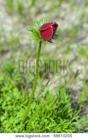 Bud Wild Anemone Flower