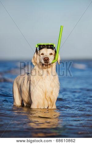 golden retriever dog snorkeling