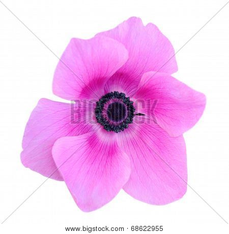 Mona Lisa Blush Flower