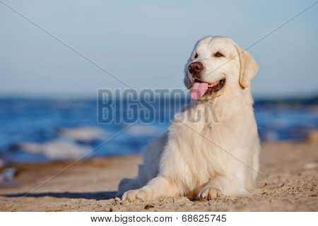 adorable golden retriever dog on the beach