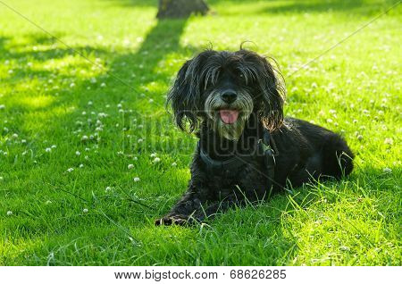 Furry Black Dog Laid In The Grass